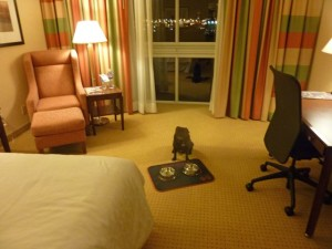 Phoebe Rose, celebrity pug at Sheraton Toronto Airport Hotel